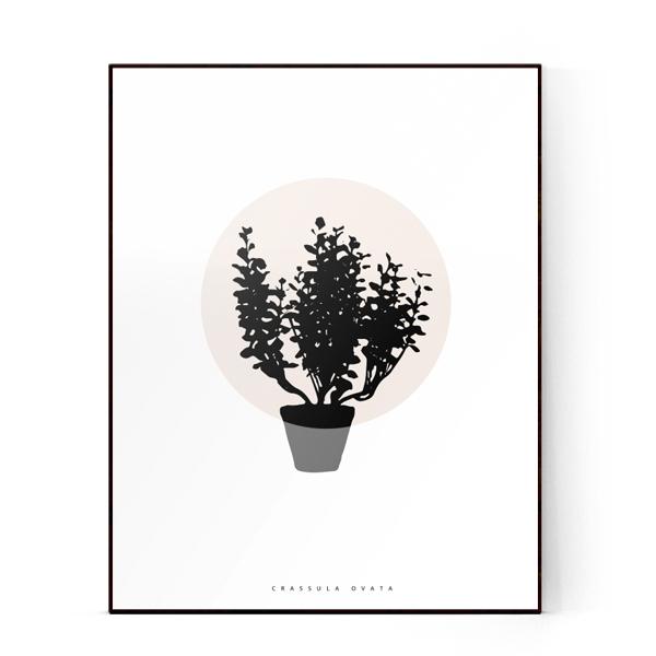 PLANTE- Crassula ovata